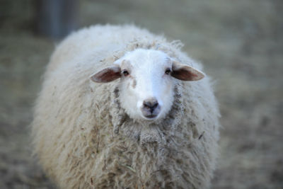 Tierheilung Schafe